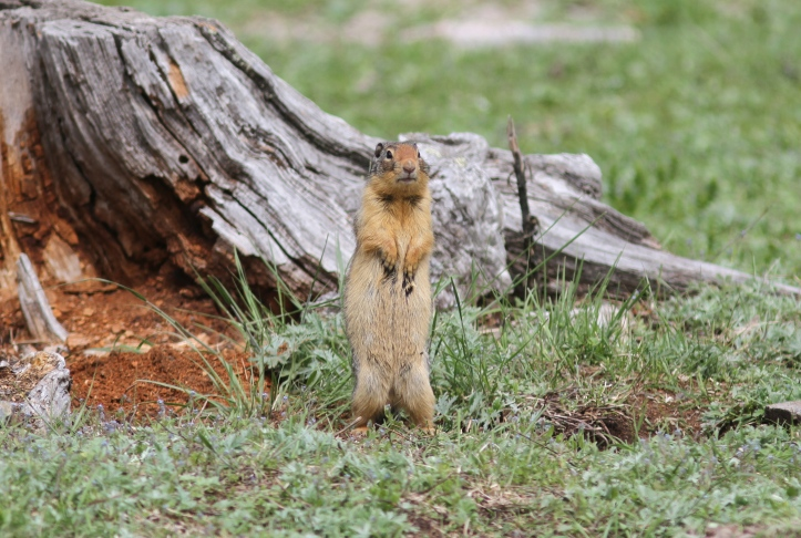 Columbian Ground Squirrel ghjgh2 (4)g