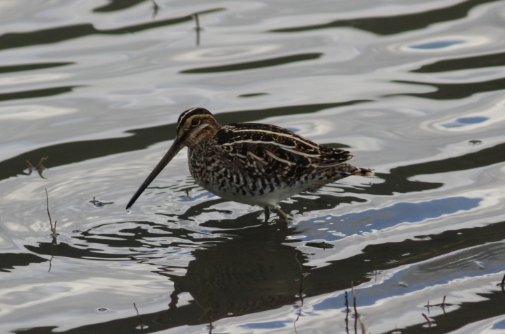 Common Snipe 32 (3)