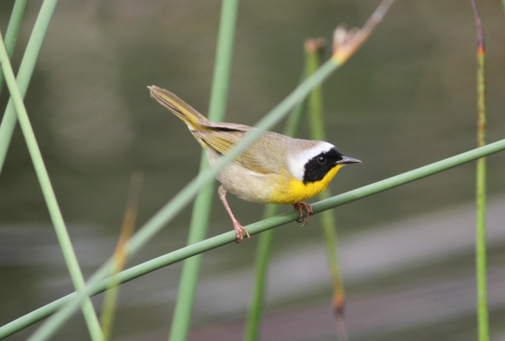Common Yellowthroat 76fhgj2