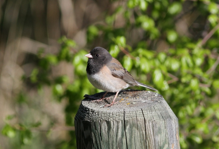 Dark-eyed Junco 89gas