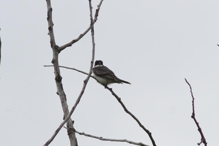 Eastern kingbird 78ghh3