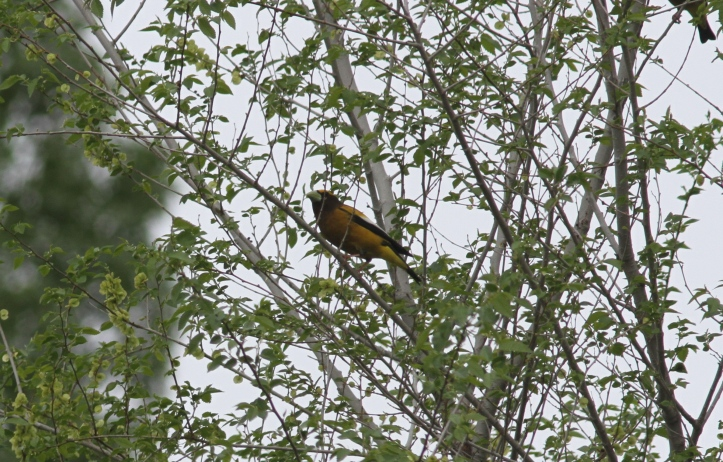 Evening Grosbeak 78gs