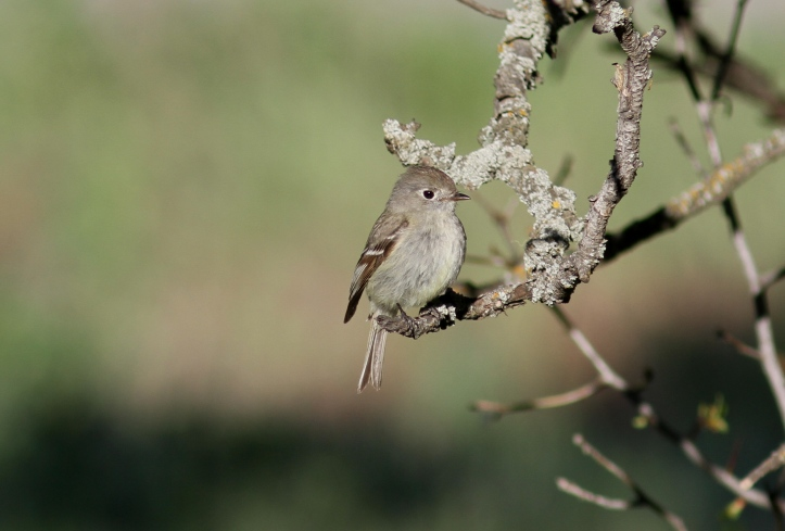 Hammond's Flycatcher verified (1)