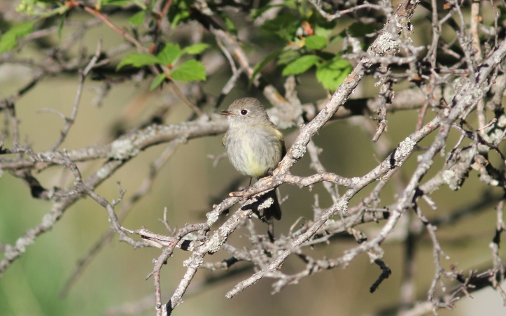 Hammond's Flycatcher verified 2 (3)