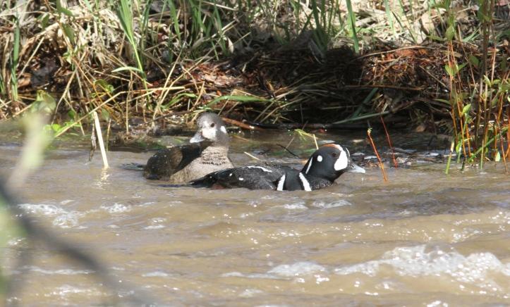 Harlequin Duck jks (11)