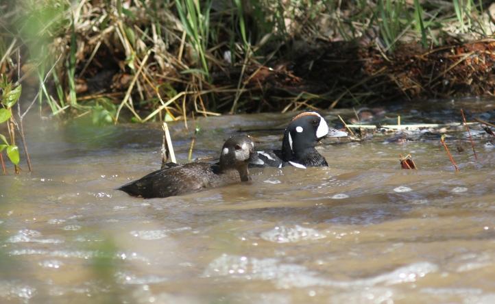 Harlequin Duck jks (4)