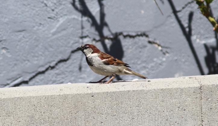 House Sparrow ghhl