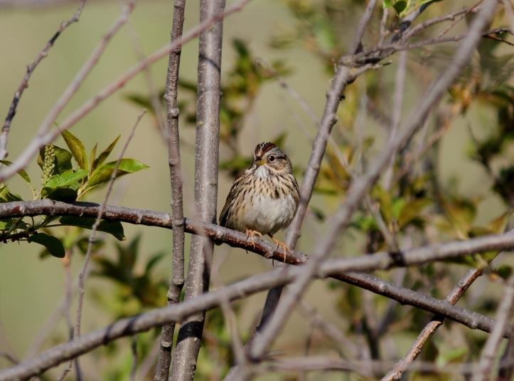 Lincoln's Sparrow 98hj2