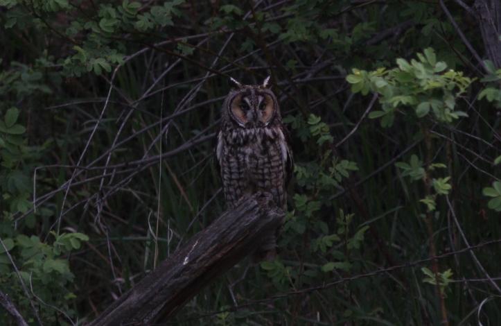 Long-eared Owl 21 (9)blog