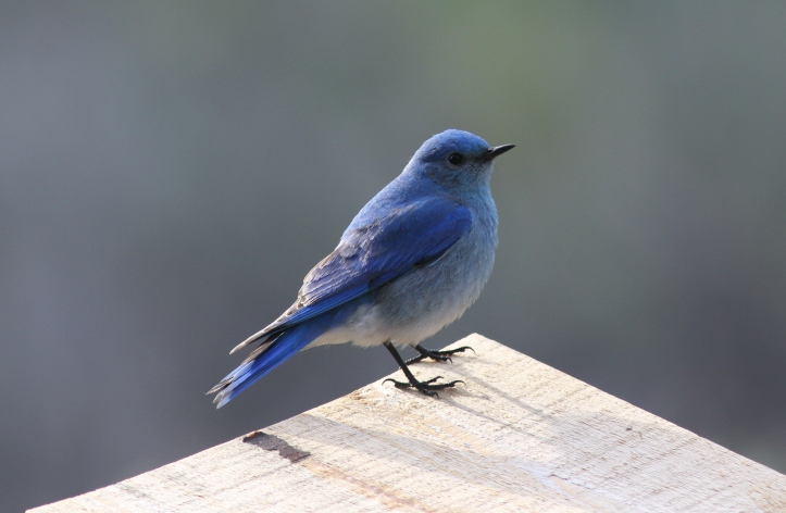 Mountain Bluebird 7ndg