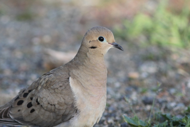 Mourning Dove 434