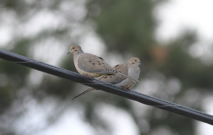 Mourning Dove lsns