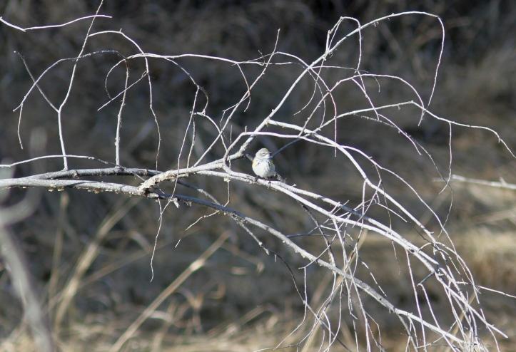 Myrtle Yellow-rumped Warbler cx