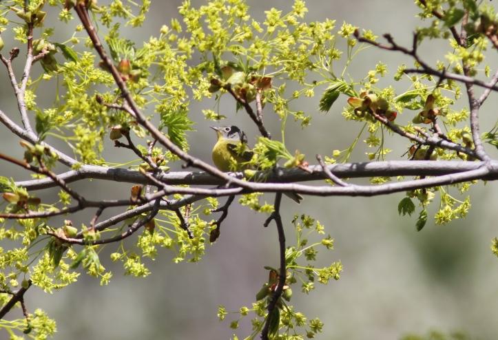 Nashville Warbler hgjga