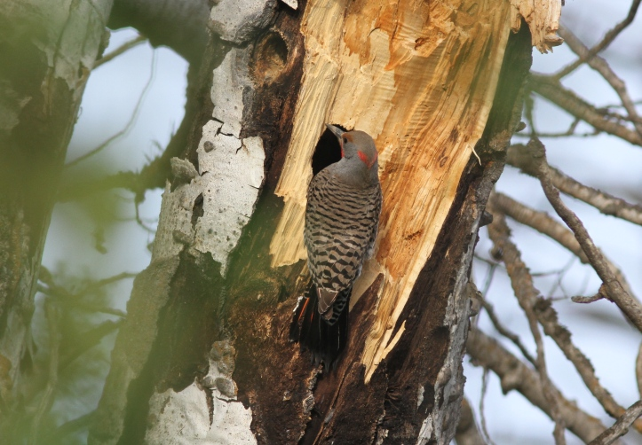 Northern Flicker 89kxmd