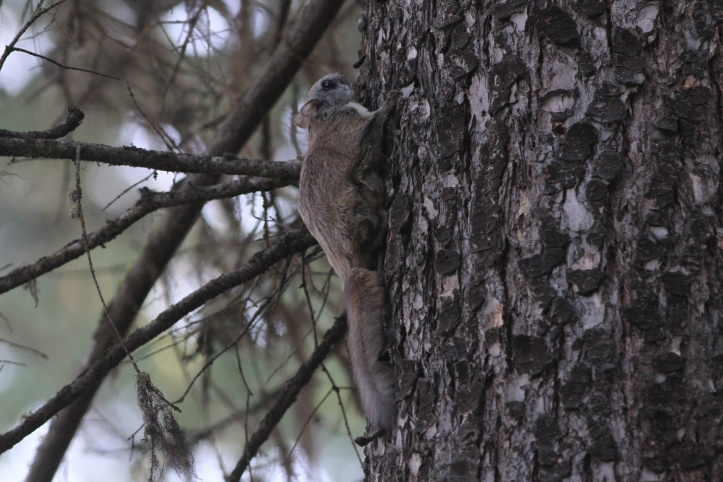 Northern Flying Squirrel 1 (3)g