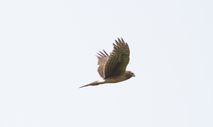 Northern Harrier hgkjhg2