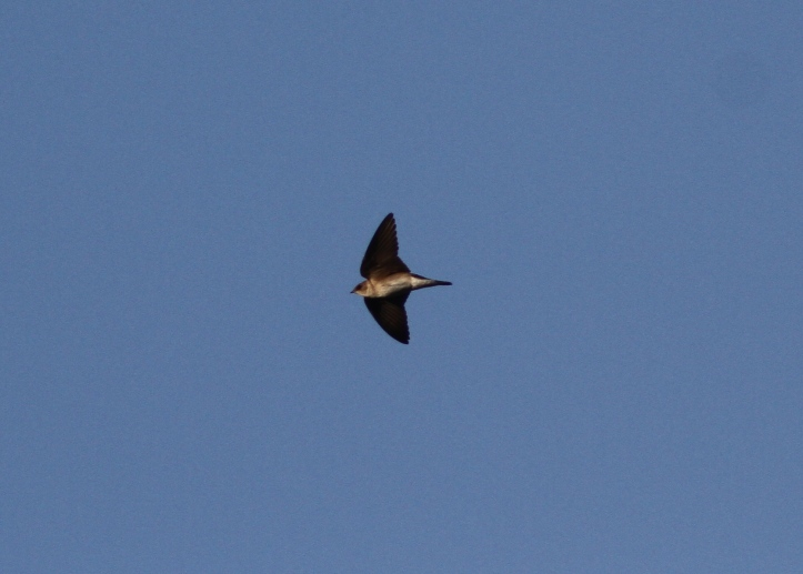 Northern Rough-winged Swallow 09jk3