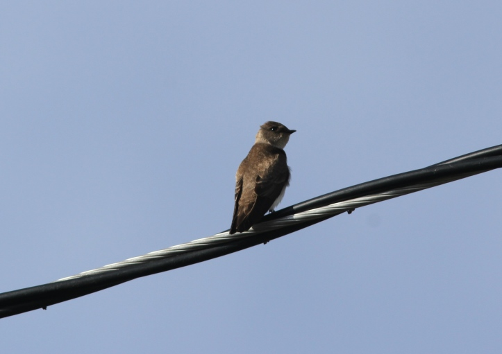 Northern Rough-winged Swallow 78gk2