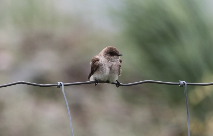 Northern Rough-winged Swallow lhj2g
