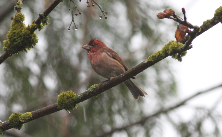 Purple Finch 89h2g