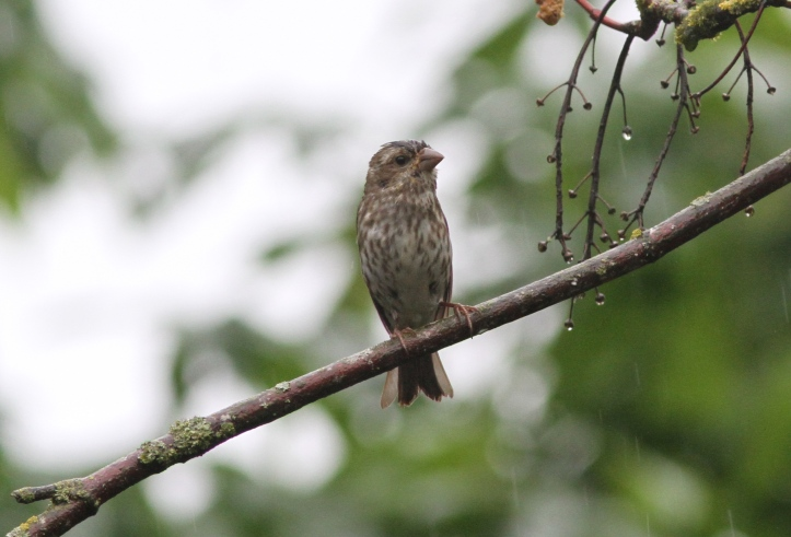 Purple Finch 89hjsfg