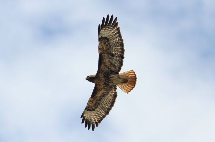Red-tailed Hawk 7h4 (8)g