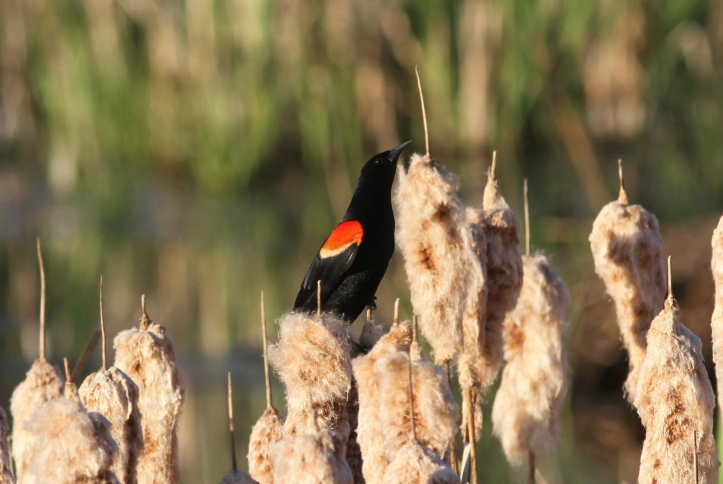 Red-winged Blackbird 89j4s