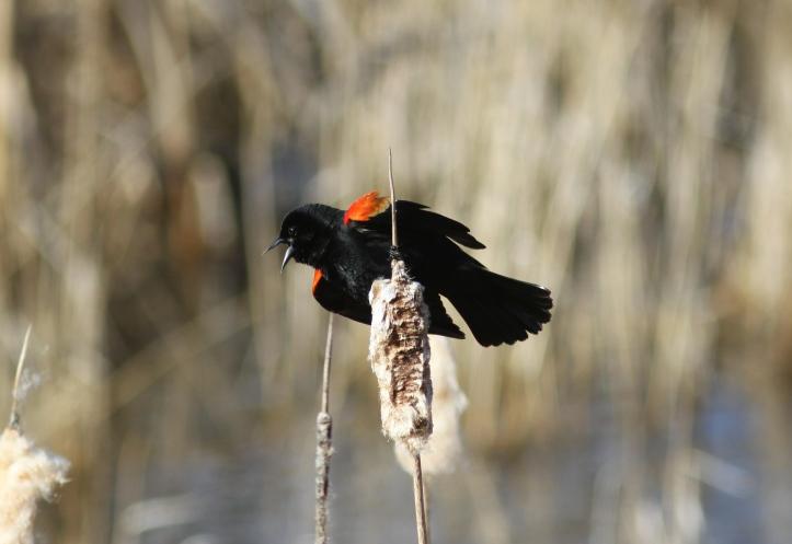 Red-winged Blackbird hhy3x