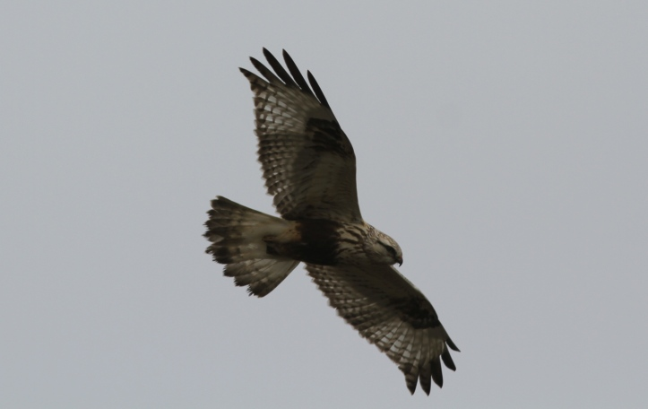 Rough-legged Hawk 89jh2 (6)g