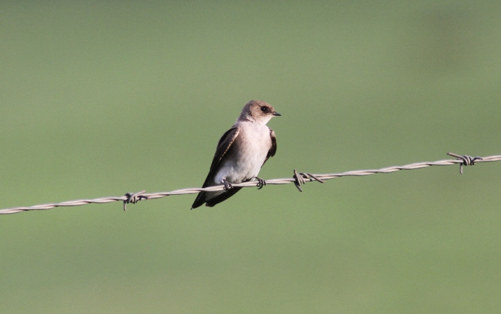 Rough-winged Swallow khghwe