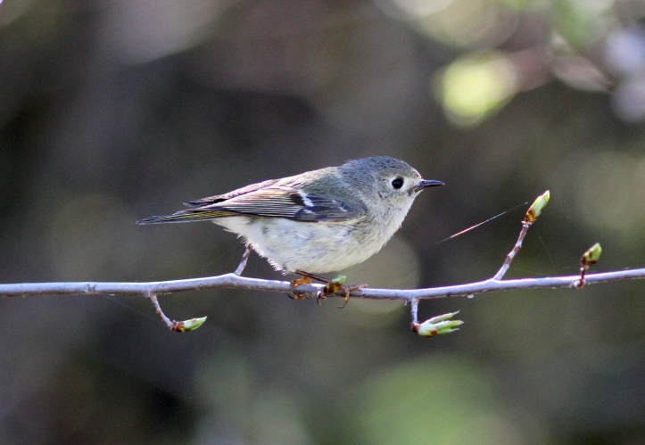 Ruby-crowned Kinglet 78hxns