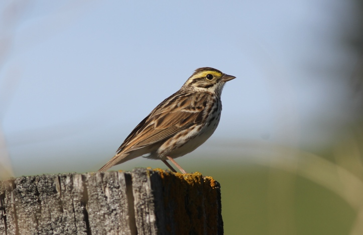 Savannah Sparrow 78ghh3g