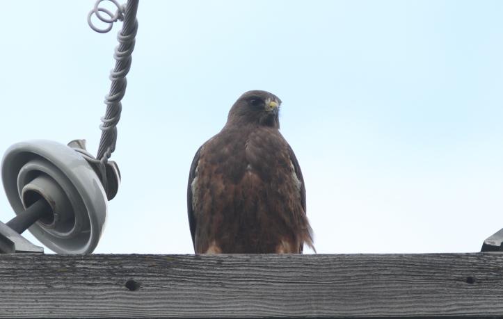 Swainson's Hawk 78hjk3