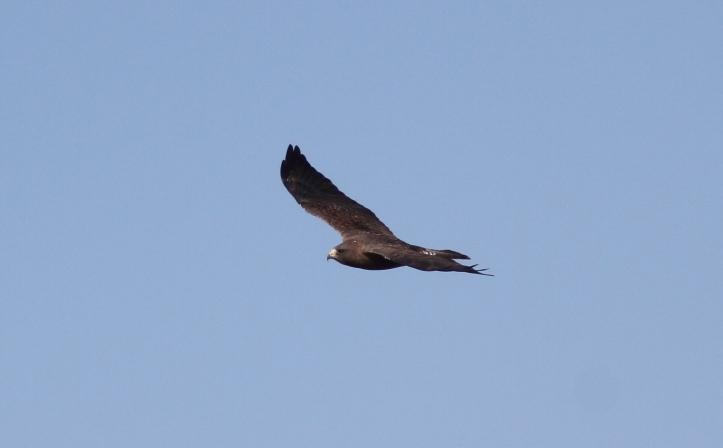 Swainson's Hawk 89g3 (1)g