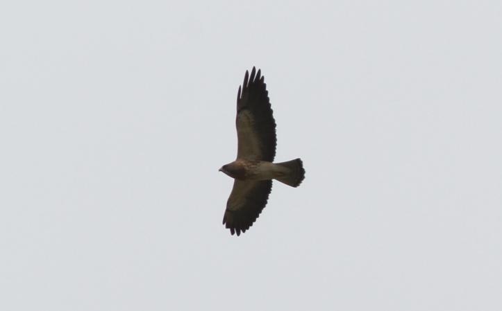 Swainson's Hawk 89j2s