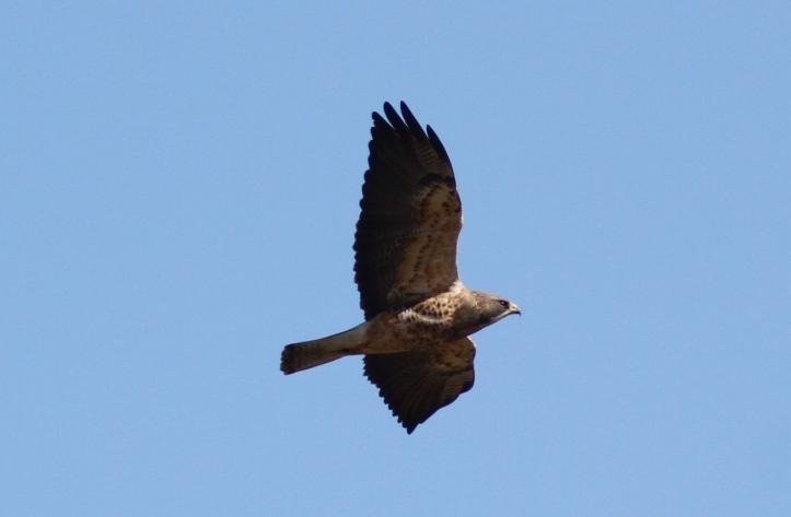 Swainson's Hawk ghj (1)gg