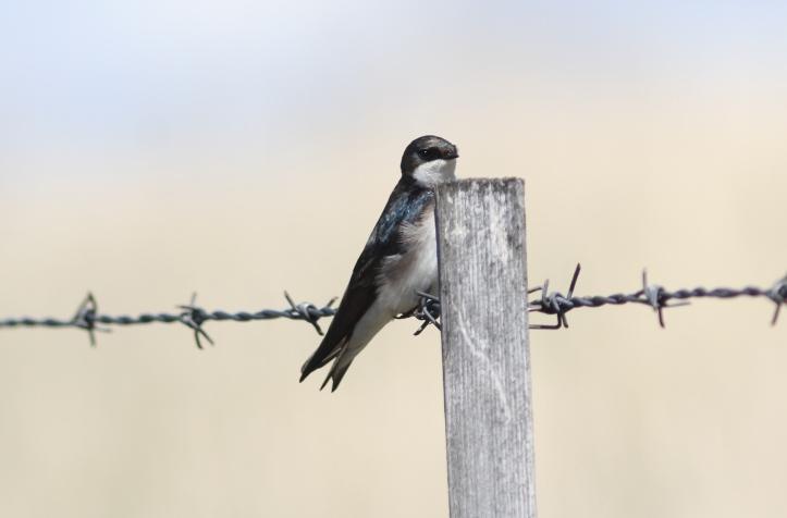 Tree Swallow 09hjx