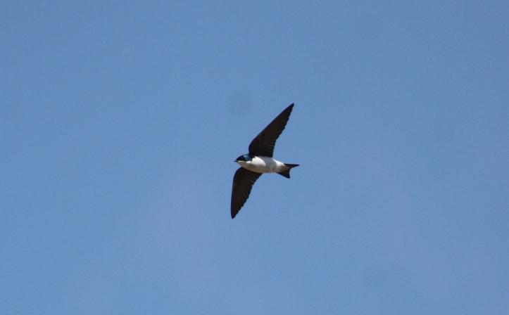Tree Swallow 9067bg