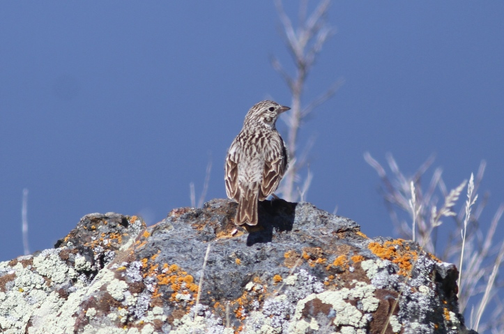 Vesper Sparrow 2ms