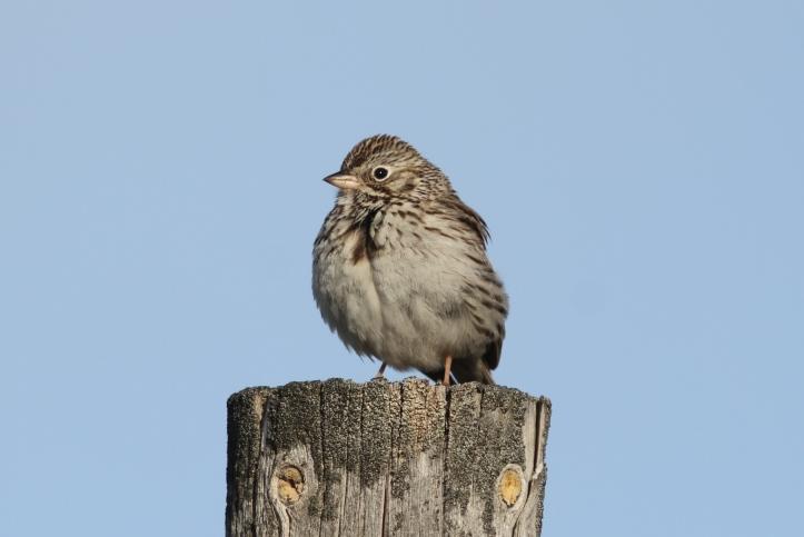 Vesper Sparrow hgkx