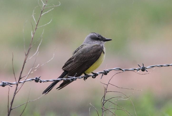 Western Kingbird 87hj3xg