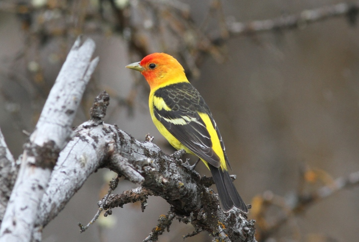 Western Tanager 1 (1)g