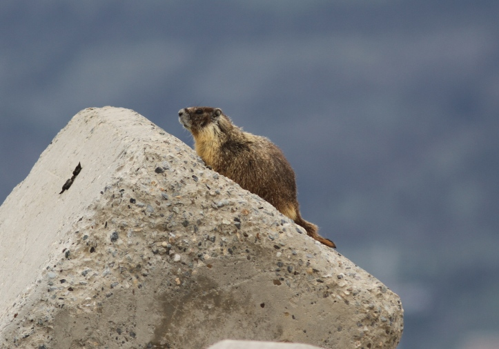 Yellow-bellied Marmot gjhkj4