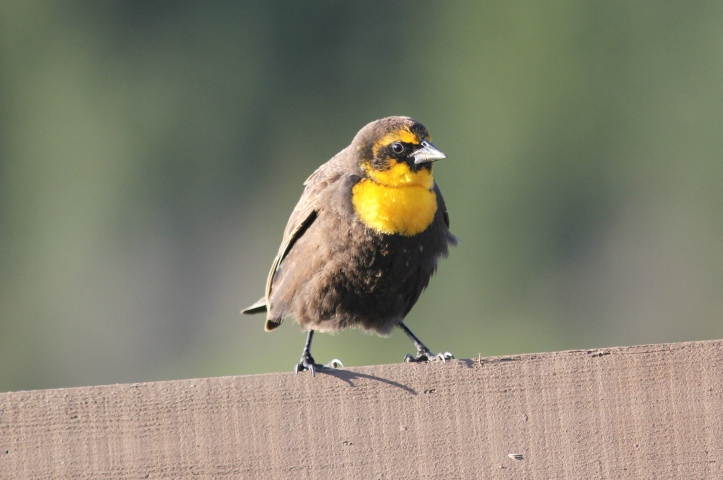 Yellow-headed Blackbird 78gh2