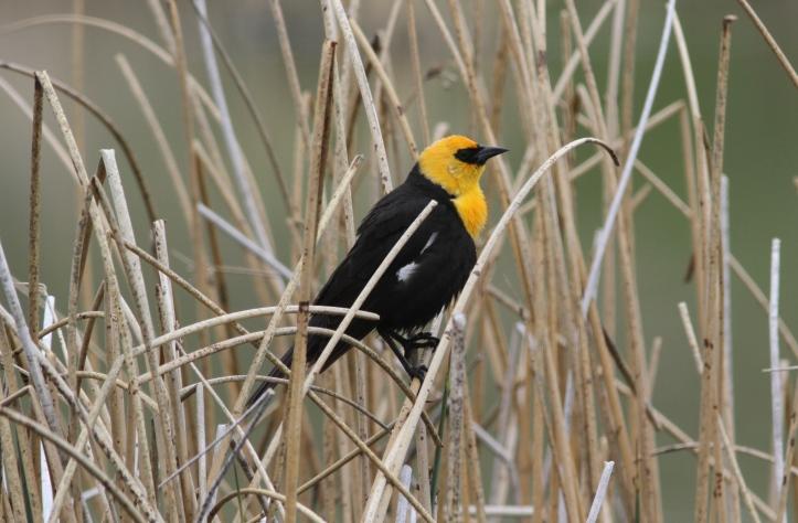 Yellow-headed Blackbird 89hj3