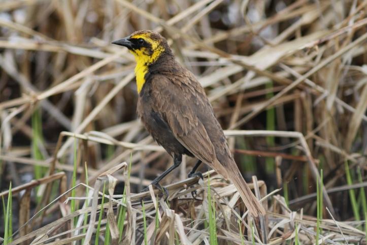 Yellow-headed Blackbird 8njndg