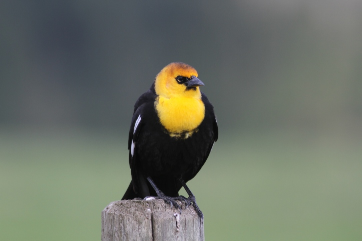 Yellow-headed Blackbird jhgws