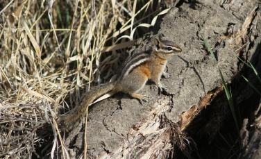 Yellow-pine Chipmunk a (2)