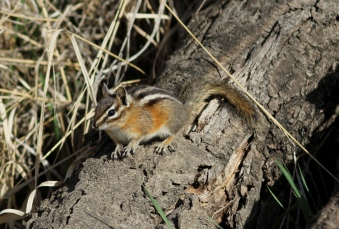 Yellow-pine Chipmunk a (3)
